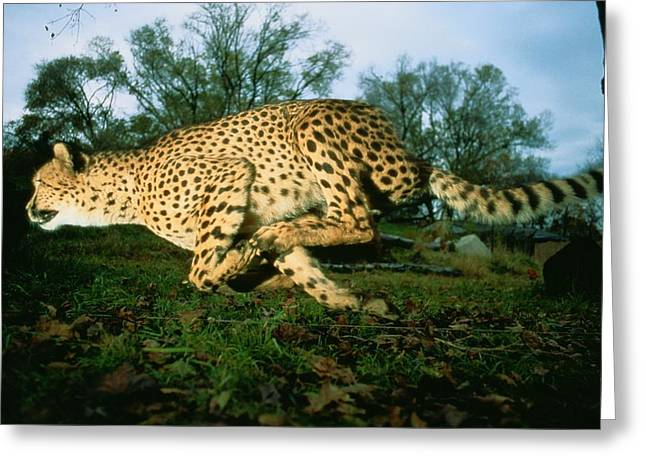 Cheetah Running Greeting Cards - An Unbound, Endangered African Cheetah Greeting Card by Michael Nichols