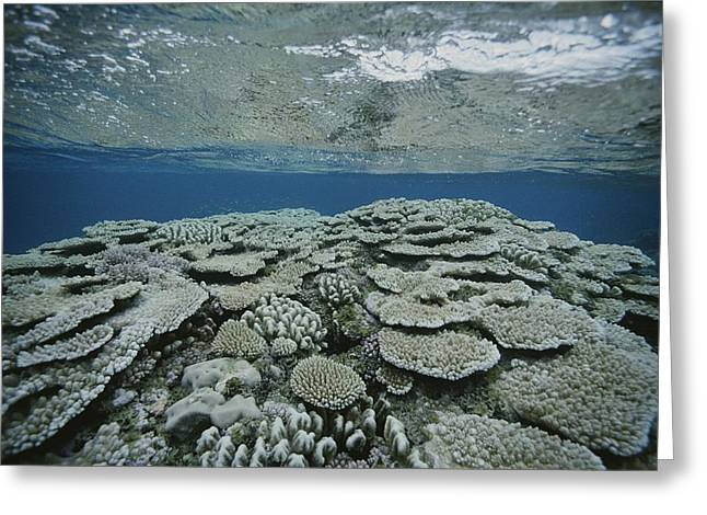 Aquatic Split Level Views Greeting Cards - An Underwater View Of Coral On Rongelap Greeting Card by Bill Curtsinger