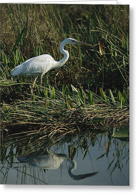 Pickerel Greeting Cards - An Unusual White Great Blue Heron Greeting Card by Raymond Gehman