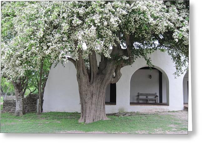 Goliad Texas Greeting Cards - Anaqua Tree Greeting Card by Lawrence Scott
