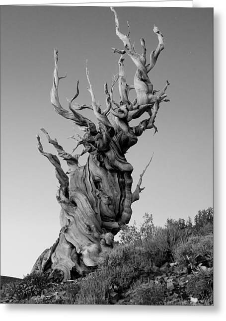 Anceint Bristlecone Pine Greeting Cards - Ancient Bristlecone Pine Greeting Card by Daniel Ryan