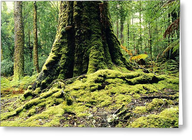 Moist Greeting Cards - Ancient Mossy Buttress Roots Of A Cool Greeting Card by Jason Edwards