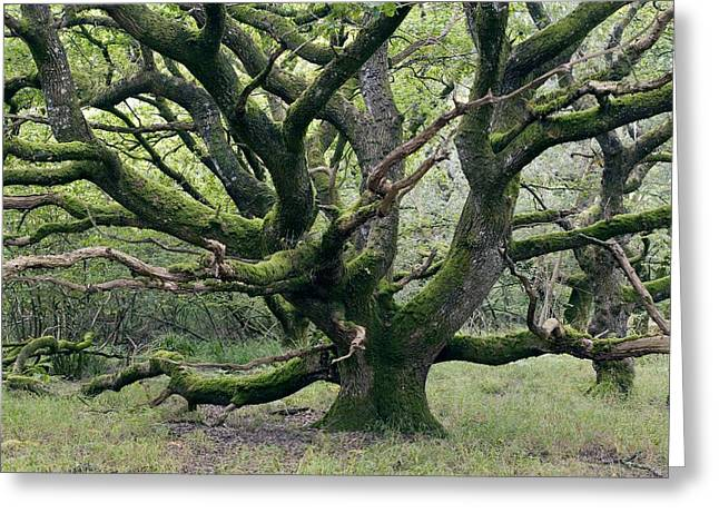 Quercus Greeting Cards - Ancient Oak Tree (quercus Sp.) Greeting Card by Adrian Bicker