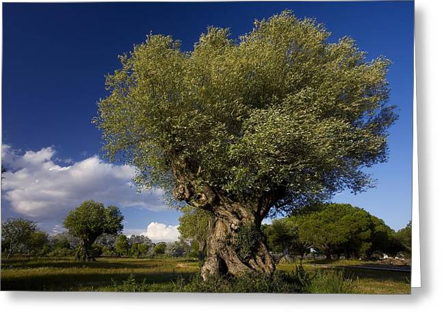(olea Europaea) Greeting Cards - Ancient Olive (olea Europaea) Trees Greeting Card by Bob Gibbons