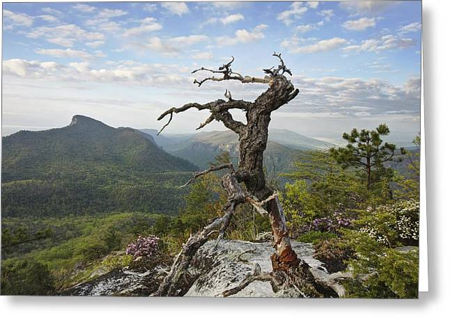 North Carolina Mountains Greeting Cards - Ancient Pine on Hawksbill Mountain Greeting Card by Keith Clontz
