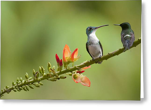 Andean Emerald Amazilia Franciae Greeting Card by Murray Cooper