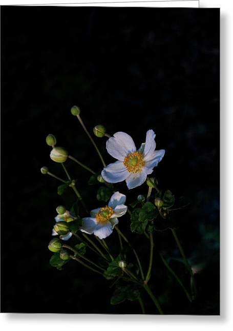 Festivities Greeting Cards - Anemone At Sunrise Greeting Card by Douglas Barnett