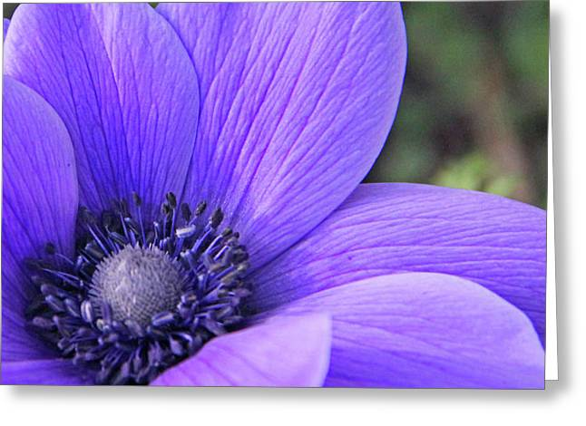 Becky Lodes Greeting Cards - Anemone closeup Greeting Card by Becky Lodes
