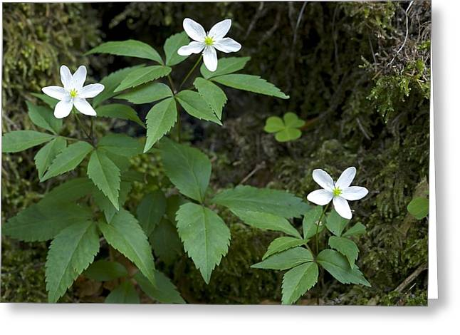 Green Foliage Greeting Cards - Anemone Trifolia Greeting Card by Bob Gibbons