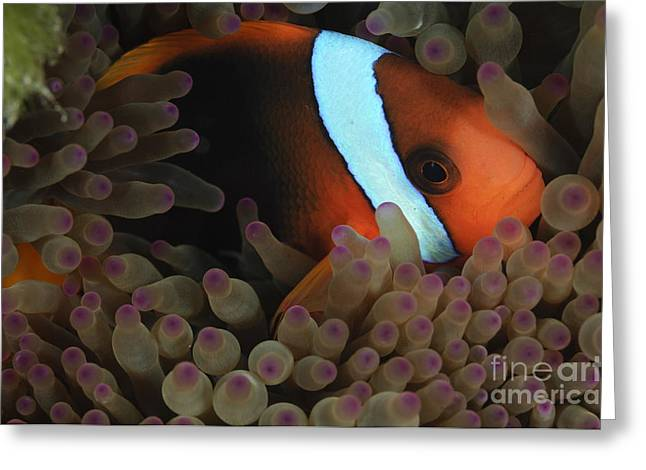 Pomacentridae Greeting Cards - Anemonefish In Purple Tip Anemone Greeting Card by Todd Winner