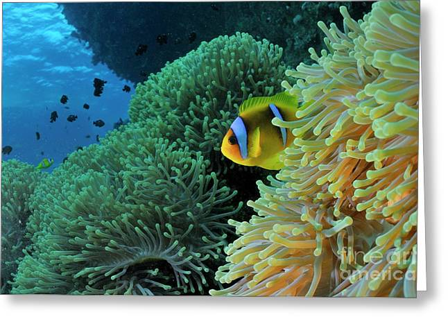 Undersea Photography Greeting Cards - Anemonefish in sea anemone Greeting Card by Sami Sarkis