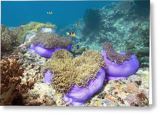 Yellowtail Clownfish Greeting Cards - Anemones With Anemonefish Greeting Card by Georgette Douwma