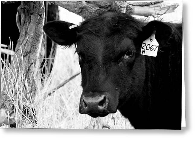Black Angus Calf Greeting Cards - Angus Cow in Black and White Greeting Card by Tam Graff