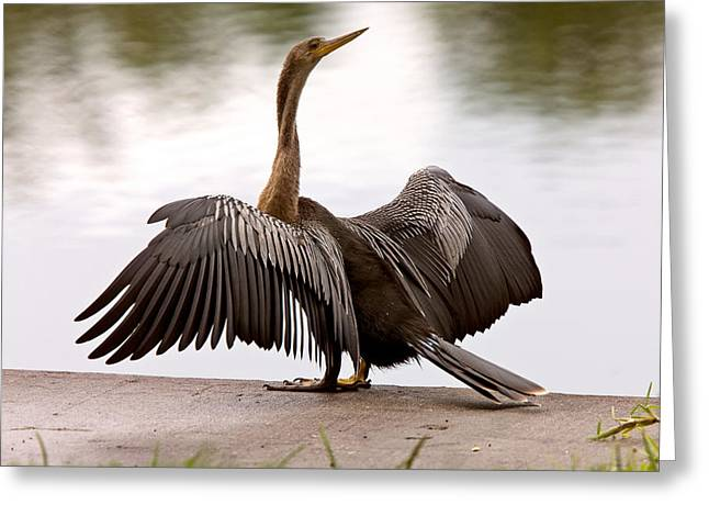 Protected Species Greeting Cards - Anhinga Drying its wings Sarasota Florida Greeting Card by Mark Duffy