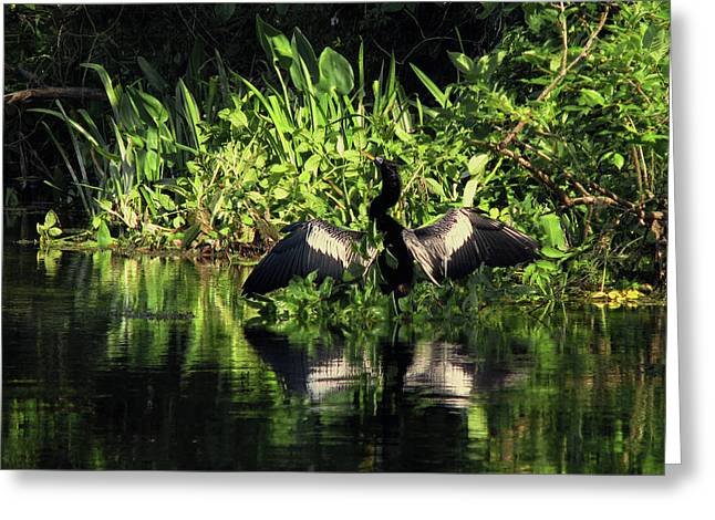 Reflections In River Greeting Cards - Anhinga Spreading Wings Greeting Card by Peg Urban