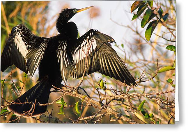 Suntanning Greeting Cards - Anhinga Sunning In A Tree, Florida Greeting Card by Robert Postma
