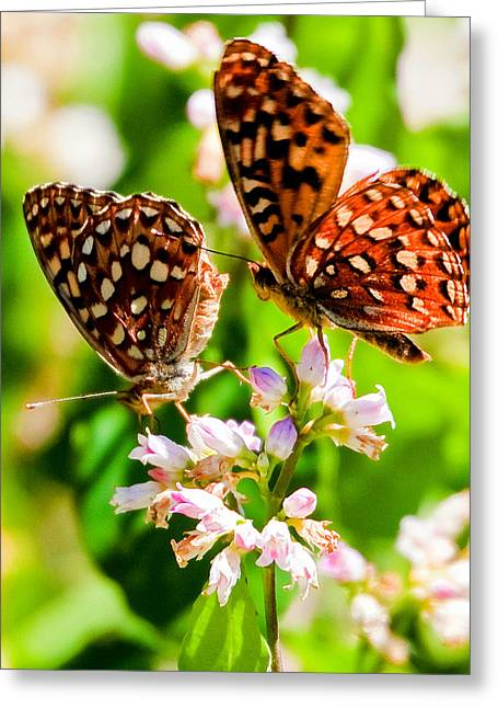 Anica Checkerspot On Dogbane Greeting Card by Merle Ann Loman
