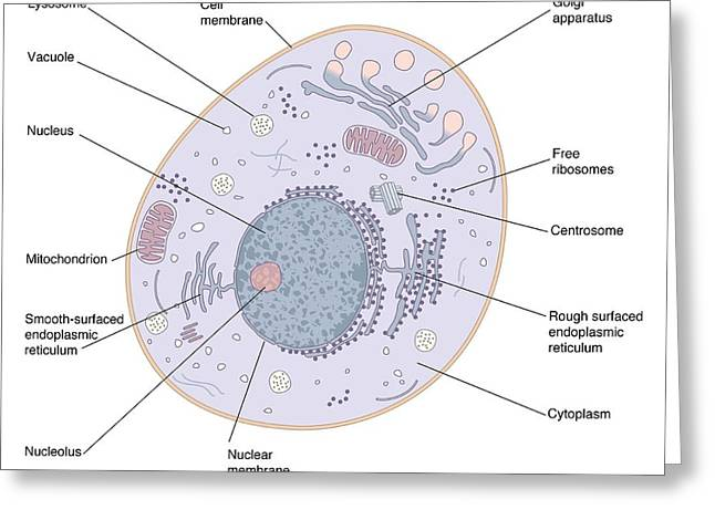 Animal Mitochondria Greeting Cards - Animal Cell Structure Greeting Card by Peter Gardiner