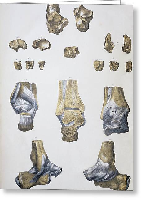 Ankle Greeting Cards - Ankle Bones And Ligaments Greeting Card by Sheila Terry