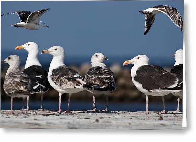 Annual Seagull Congress Greeting Card by Michael Mogensen