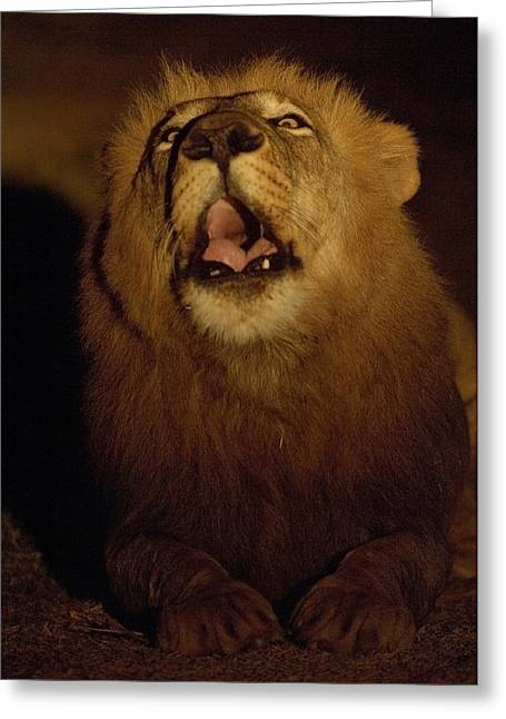 Wildcats Greeting Cards - Answering A Rivals Roar, A Lion Defends Greeting Card by Frans Lanting