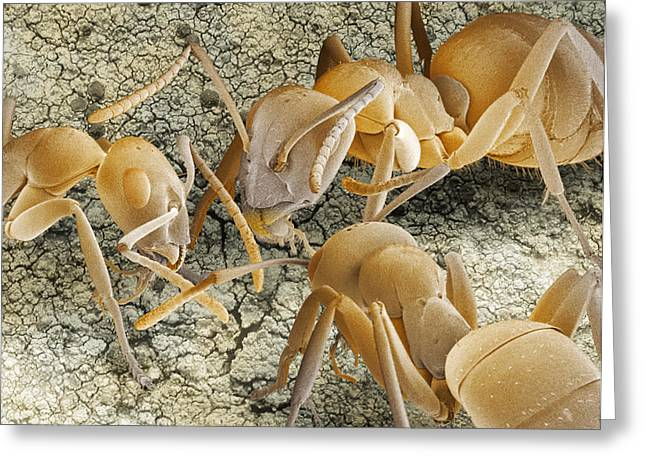 Zoology Greeting Cards - Ant Communication, Sem Greeting Card by Power And Syred