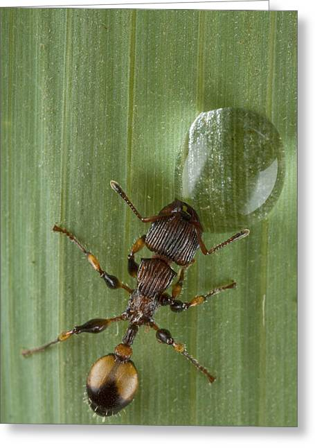 New Britain Photographs Greeting Cards - Ant Drinking From Water Droplet Papua Greeting Card by Piotr Naskrecki