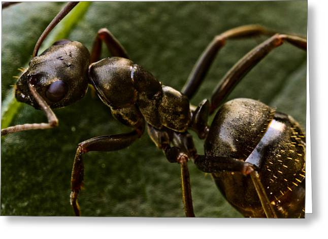 Macro Finalized Photographs Greeting Cards - Ant on a Leaf Greeting Card by Ryan Kelly