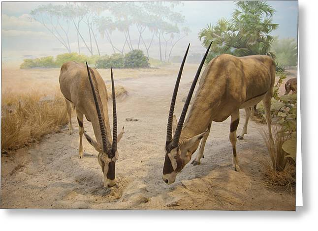 Antelope In The Sand With Their Heads Greeting Card by Laura Ciapponi
