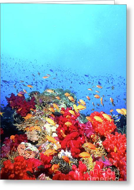 Fish In Ocean Greeting Cards - Anthias Fish And Coral Reef, Fiji Greeting Card by Beverly Factor