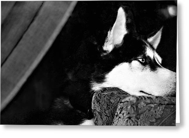 Siberian Husky Greeting Cards - Anticipation Greeting Card by Celestial  Blue