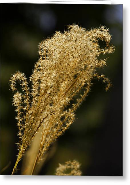 Pampas Grass Greeting Cards - Antique Color Pampas Grass Greeting Card by M K  Miller