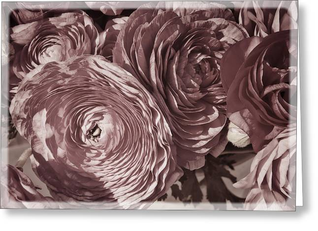 Antique Pink Ranunculus Greeting Card by Joan Carroll