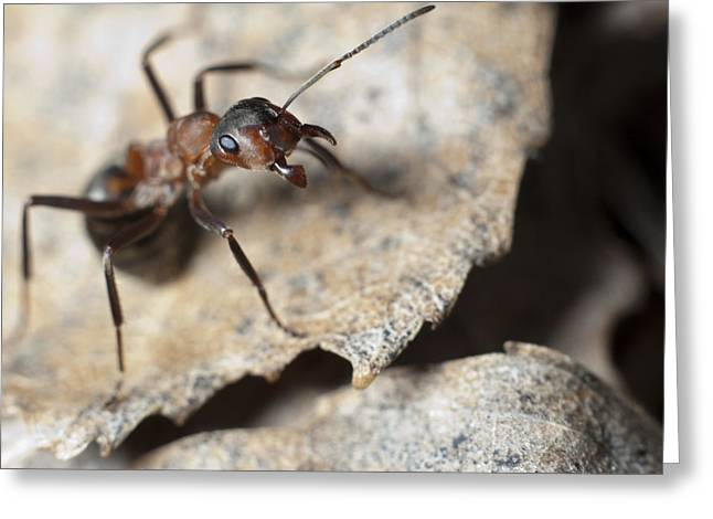 Micrography Greeting Cards - Ants colony Greeting Card by Igor Sinitsyn