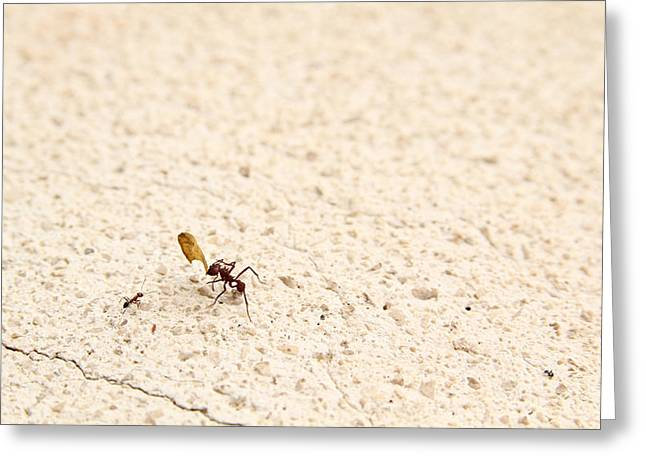 Social Organizations Greeting Cards - Ants Greeting Card by Isabel Poulin