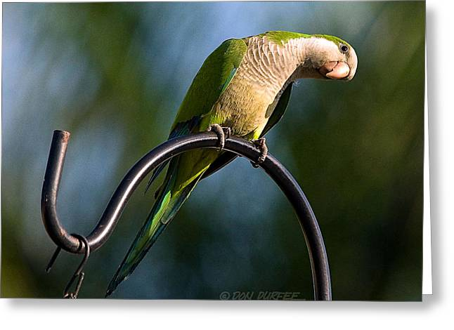 Monk Parakeet Greeting Cards - Any Peanuts In There Greeting Card by Don Durfee