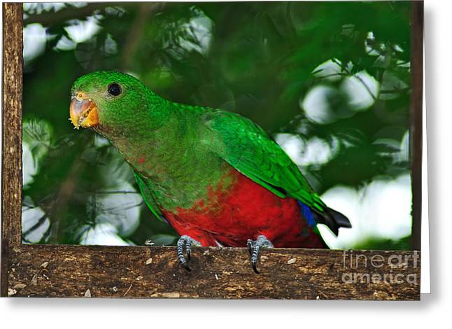 Yellow Beak Greeting Cards - Anyone Home... King Parrot - Female Greeting Card by Kaye Menner