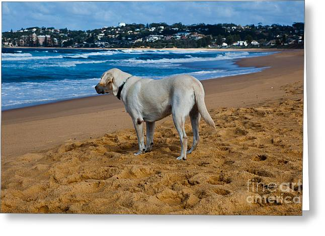 Labrador Greeting Cards - Anyone out there Greeting Card by John Buxton
