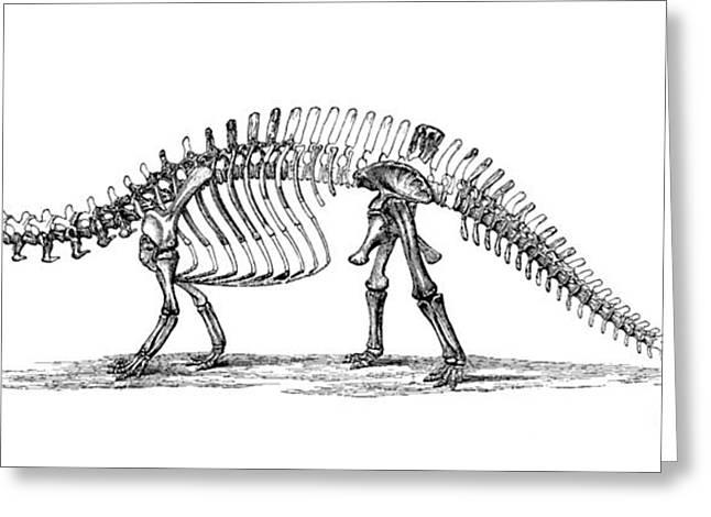 Brontosaurus Greeting Cards - Apatosaurus Excelsus,  Aka Brontosaurus Greeting Card by Science Source