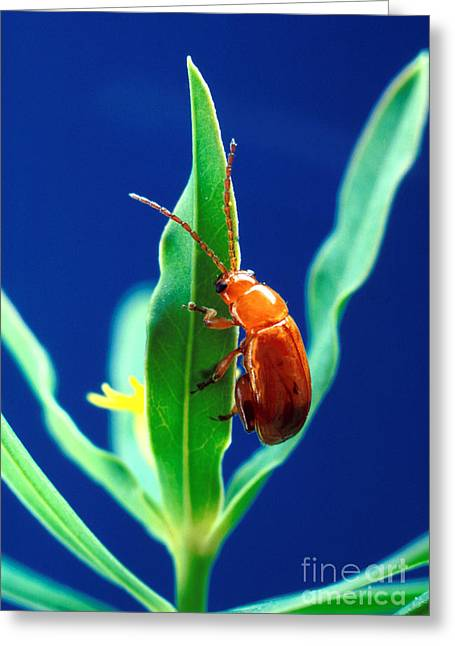 Spurge Greeting Cards - Aphthona Flava Flea Beetle On Leafy Greeting Card by Science Source