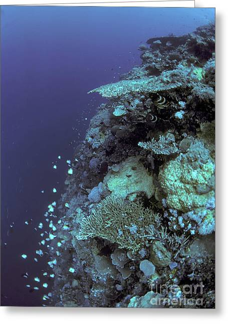 Reef Fish Greeting Cards - Apo Reef, Philippines Greeting Card by Greg Dimijian