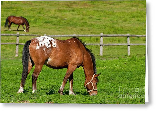 Horse Photography Greeting Cards - Appaloosa Greeting Card by Michael Cummings