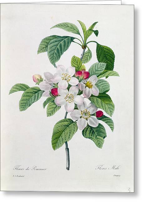 Apple Greeting Cards - Apple Blossom Greeting Card by Pierre Joseph Redoute