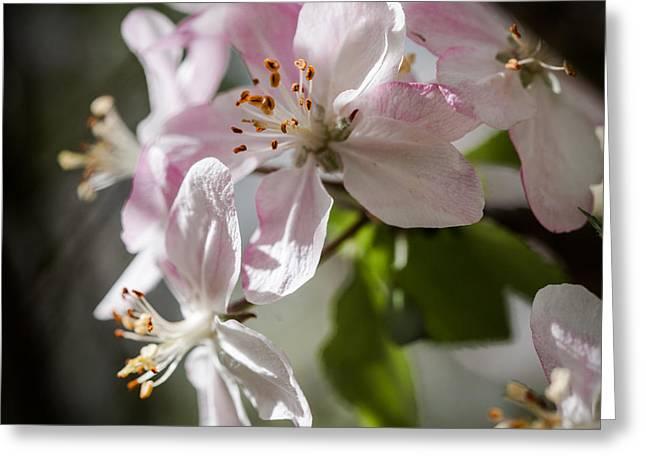 Apple Blossom Greeting Card by Ralf Kaiser