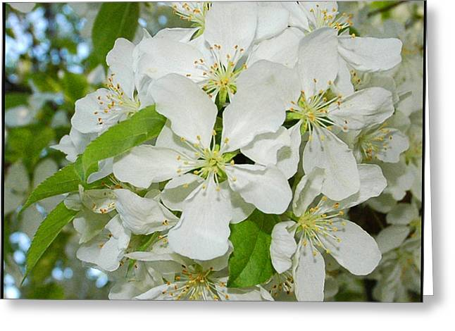 Wild Orchards Greeting Cards - Apple Blossoms on the Trail Greeting Card by LeeAnn McLaneGoetz McLaneGoetzStudioLLCcom