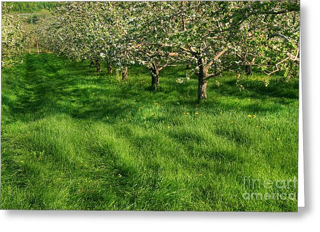 Warm Weather Greeting Cards - Apple orchard Greeting Card by Sandra Cunningham