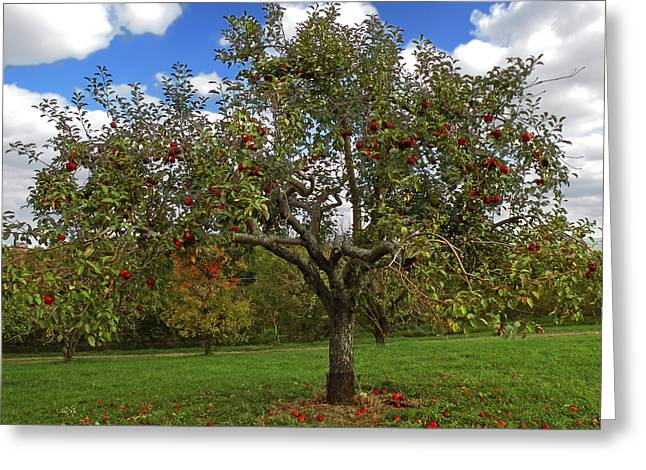 Ithaca Greeting Cards - Apple Tree Greeting Card by Steven  Michael