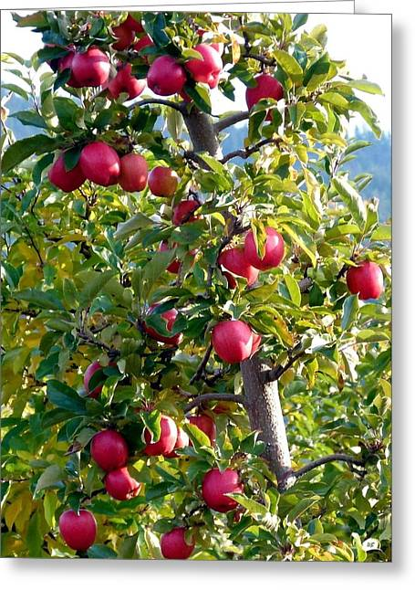 Apples Ready For Picking Greeting Card by Will Borden