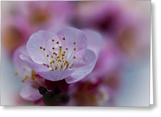 Apricot Tree Greeting Cards - Apricot Flower Close Up Greeting Card by Marc Garrido