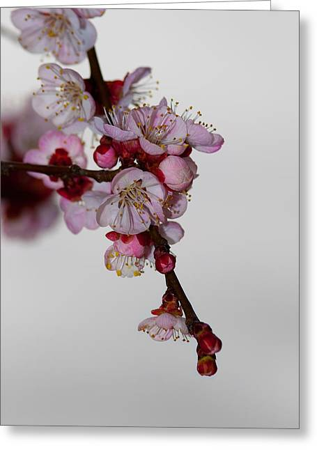 Apricot Tree Greeting Cards - Apricot Flowers II Greeting Card by Marc Garrido